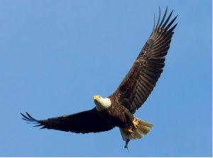 bald-eagle-529664_1280